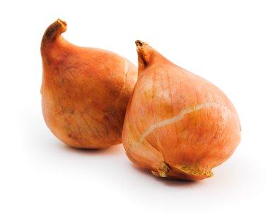 tulip-bulb