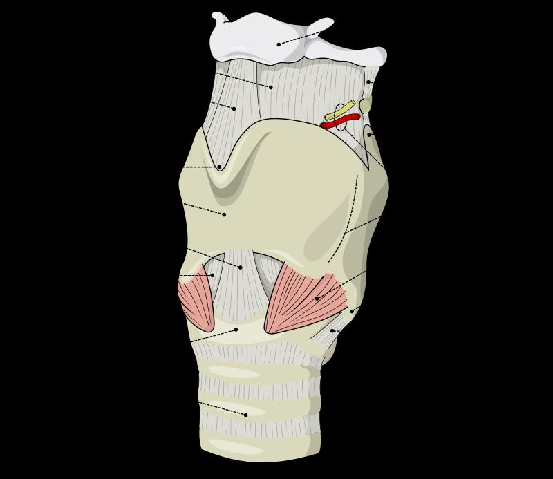 800px-larynx_external_en-svg