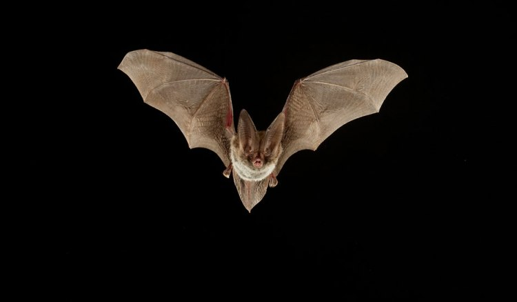 rafinesques-big-eared-bat-940x