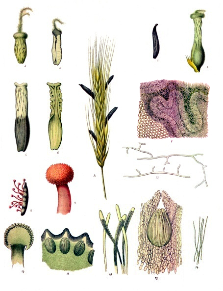 Claviceps_purpurea_-_Köhler–s_Medizinal-Pflanzen-185