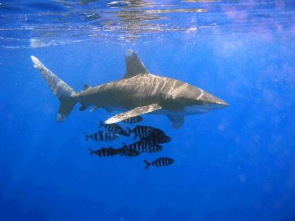 1024px-Oceanic_Whitetip_Shark