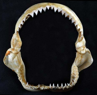 Carcharhinus_longimanus_jaws
