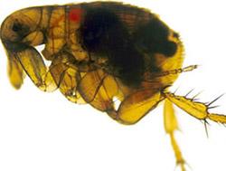 flea_infected_with_yersinia_pestis